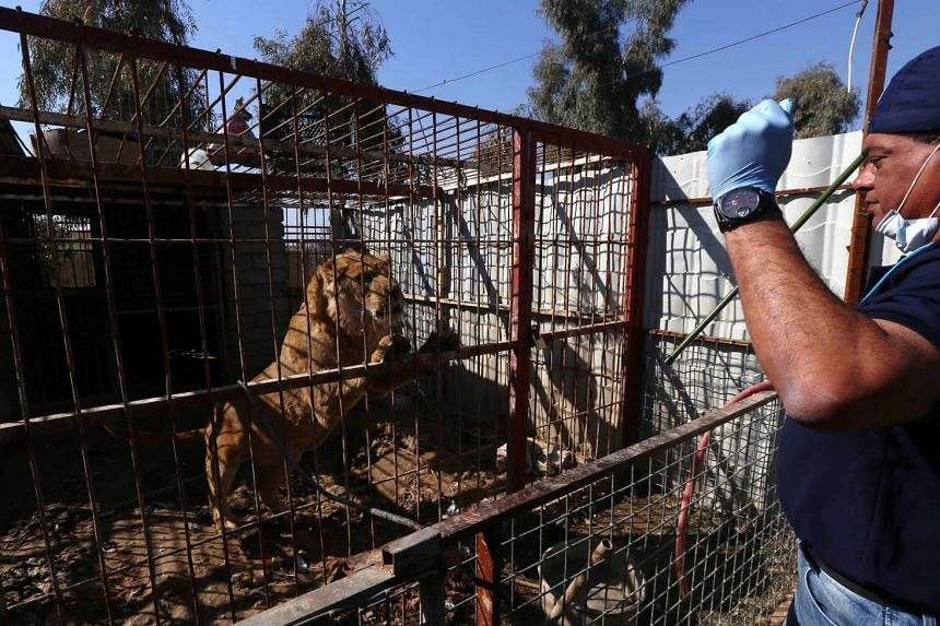 Veterinary and team leader at Four Paws Amir Khalil stands in front of the cage of an abandoned lion before giving it treatment.
