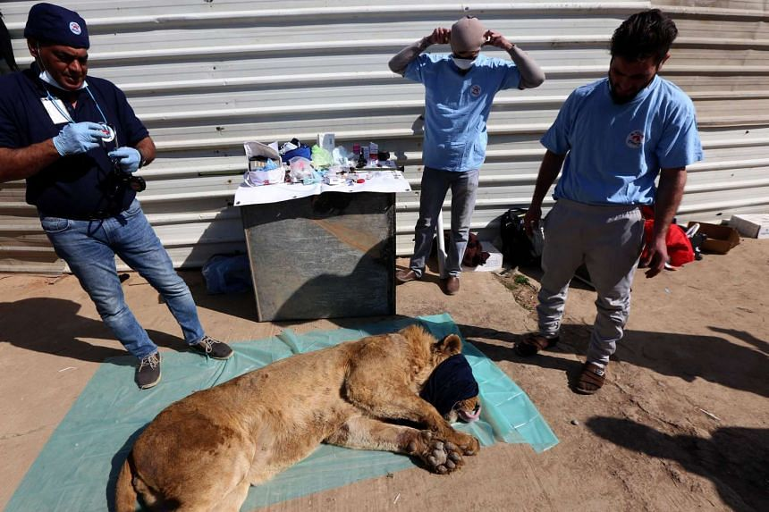 Veterinary and team leader at Four Paws Amir Khalil (left) gives treatment to a lion.