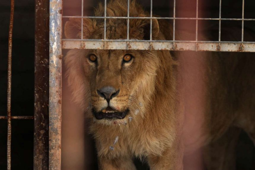 An abandoned lion stands in its cage before receiving treatment from Four Paws on Feb 21, 2017.