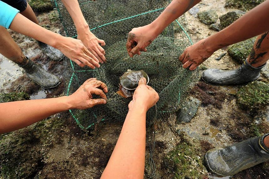 File photo of volunteers rescuing horseshoe crabs trapped in nets at the Mandai Mudflats. Horseshoe crabs have been around since before the dinosaur era. Despite their name, they are not crabs and only superficially resemble crustaceans.