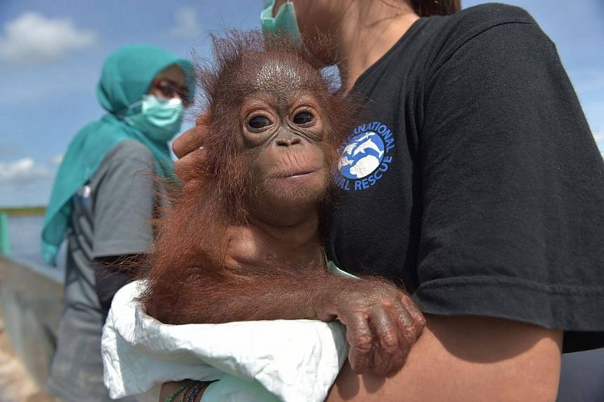 Ms Devi Sumantri holding Vena, a seven-month-old orangutan, during an evacuation by the International Animal Rescue and Indonesian Natural Resources and Conservation Agency at the Air Hitam Besar village in Kendawangan, West Kalimantan on Borneo isla