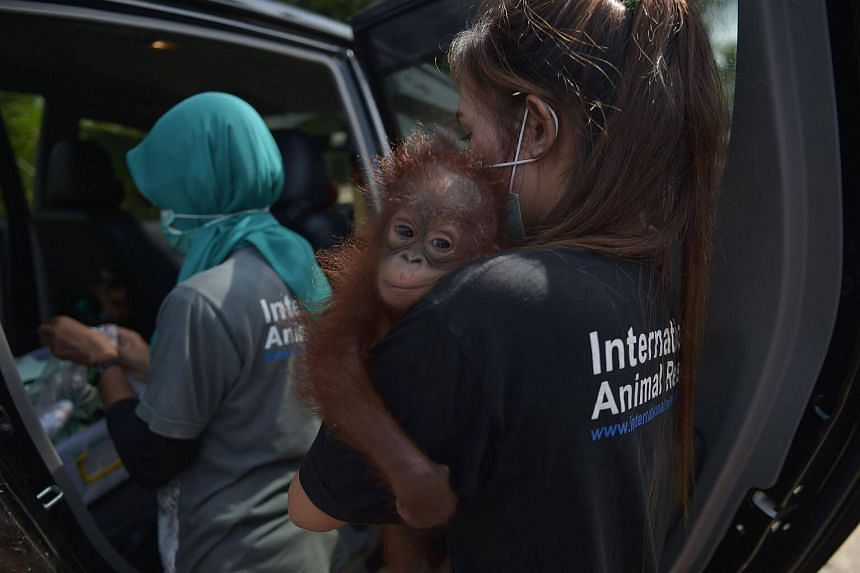 Before she was rescued, Vena was being kept as a pet by a lady called Bariah, who found the orangutan in a neighbouring village.