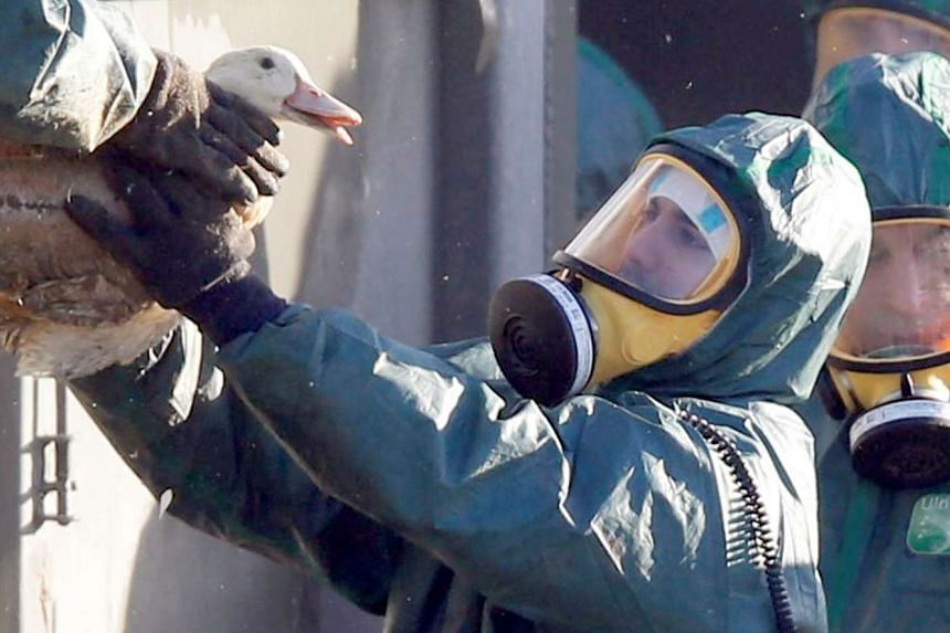 Workers gather ducks to be culled in Latrille, France, on Jan 6, 2017.