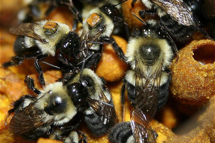 Worker bumble- bees, tagged with RFID chips, caring for the larvae. The chips allow scientists to keep tabs on the bees at all times.