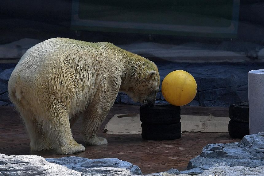 (Clockwise from left) Inuka swimming its enclosure; playing with an enrichment toy; and getting its daily dental check-up. Under the zoo's special care programme for senior animals, Inuka gets a mixture of daily quality of life checks, vet inspection