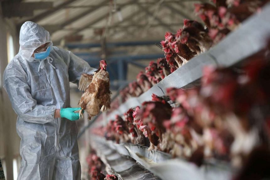 A quarantine researcher checks on a chicken at a poultry farm in Xiangyang, Hubei province, China, on Feb 3, 2017