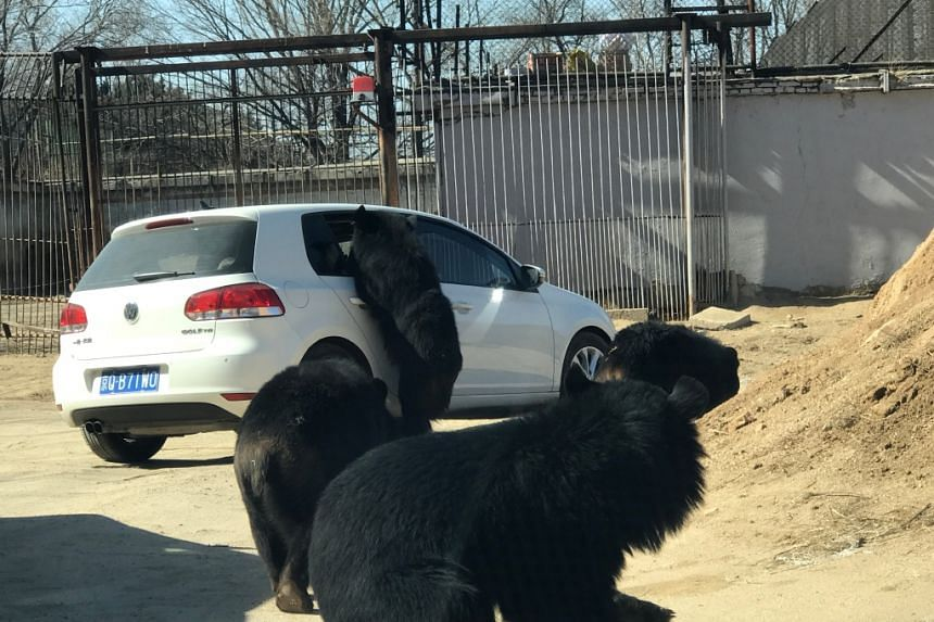 A black bear standing on its hind legs and reaching into the car at Badaling Wildlife World park.