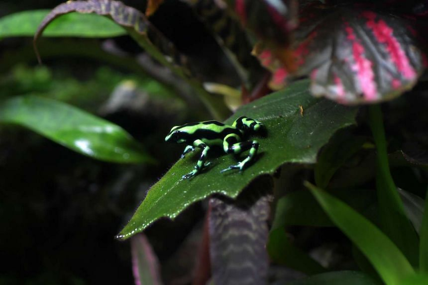 The Green and Black Poison arrow frog is among five different species of poison arrow frogs being exhibited at the S.E.A Aquarium at Resorts World Sentosa.