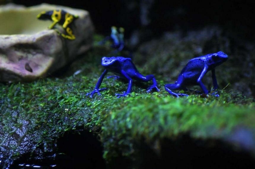Two Blue Poison arrow frogs (in the foreground) together with the Yellow-Headed Poison frog (left) and Dyeing Poison frog (in the background) exhibited at the S.E.A Aquarium at Resorts World Sentosa.