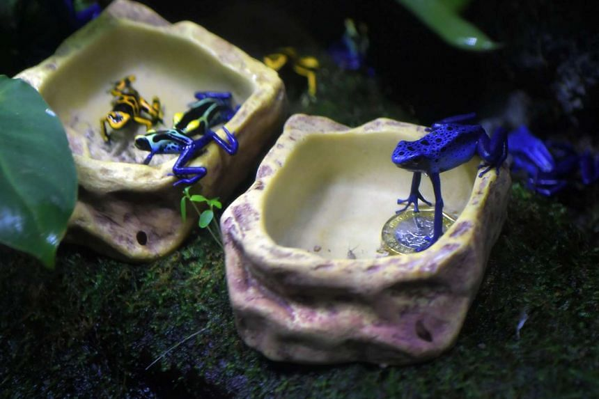 The Blue Poison arrow frog (right) perches itself on a one dollar coin at the S.E.A Aquarium at Resorts World Sentosa.