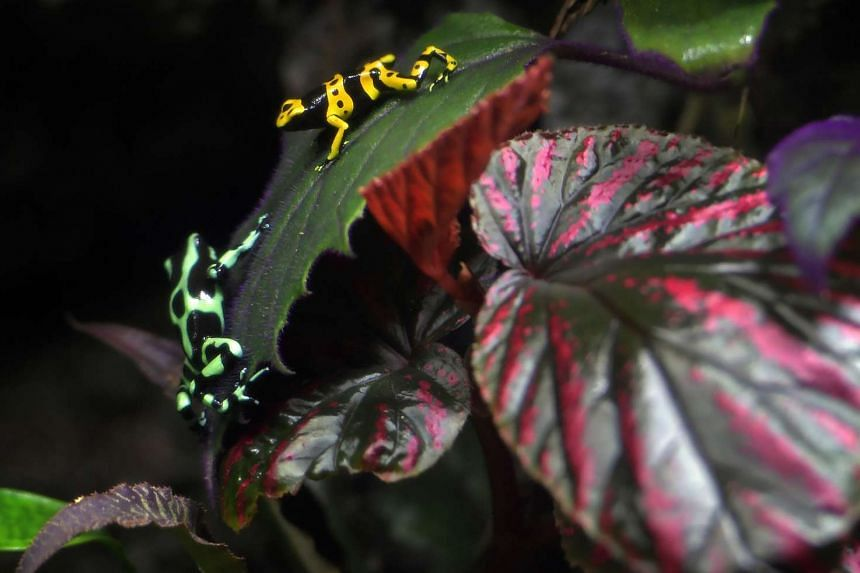 The Green and Black Poison arrow frog (left) and the Yellow-Headed Poison frog at the S.E.A Aquarium at Resorts World Sentosa.