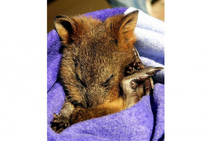 File photo of a quokka sleeping in a blanket at Sydney's Taronga Zoo.