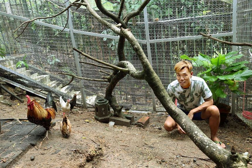 Animal rescue volunteer Derrick Tan has rounded up six of Sin Ming's remaining free-ranging chickens and placed them in an aviary in Bukit Timah's Turf City.