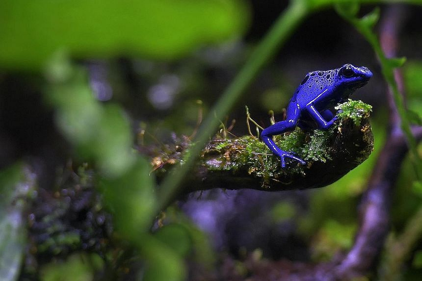 The blue poison arrow frog, the yellow-headed poison frog, the green and black poison arrow frog and the Amazonian poison frog (bottom) are among the five species of poison arrow frogs that will be showcased at the S.E.A. Aquarium's Central and South