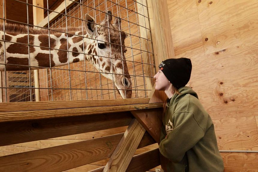 Allysa Swilley, a zoologist and head giraffe keeper, with April, a pregnant giraffe at the Animal Adventure Park in Harpursville on March 3, 2017.