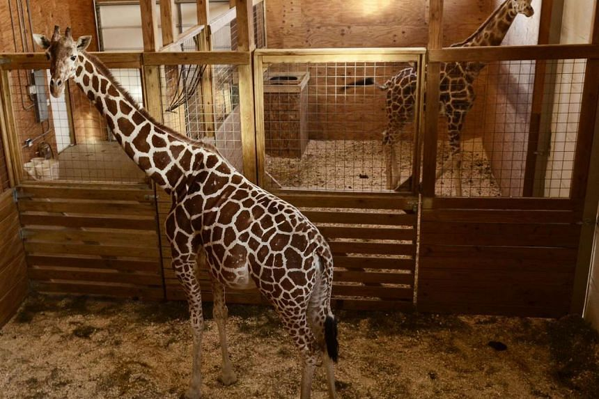 April, a pregnant Giraffe (left) stands in her pen alongside her mate, Oliver, at the Animal Adventure Park in Harpursville on March 3, 2017.