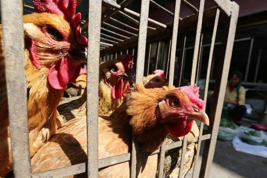 Chickens are seen in a livestock market before the market asked to stop trading on March 1 in prevention of bird flu transmission, in China on Feb 22, 2017.