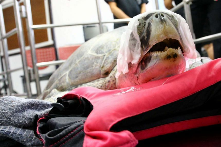 Omsin, a 25-year-old female green sea turtle, rests after a surgical operation to remove coins from her stomach at the Faculty of Veterinary Science, Chulalongkorn University in Bangkok.