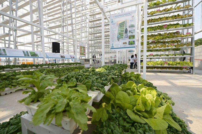 The first vertical farm in Singapore, owned by Sky Greens, is on a plot of land in Lim Chu Kang the size of about five football fields.