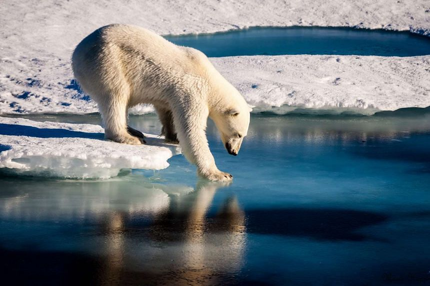 A polar bear tests the strength of thin sea ice in the Arctic in August, 2015.