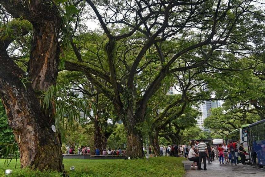 RAIN TREE: Some of these 22 rain trees in Connaught Drive were planted around the mid-1880s, which would make them over 130 years old. This means they would have witnessed key historic events in the Civic District.