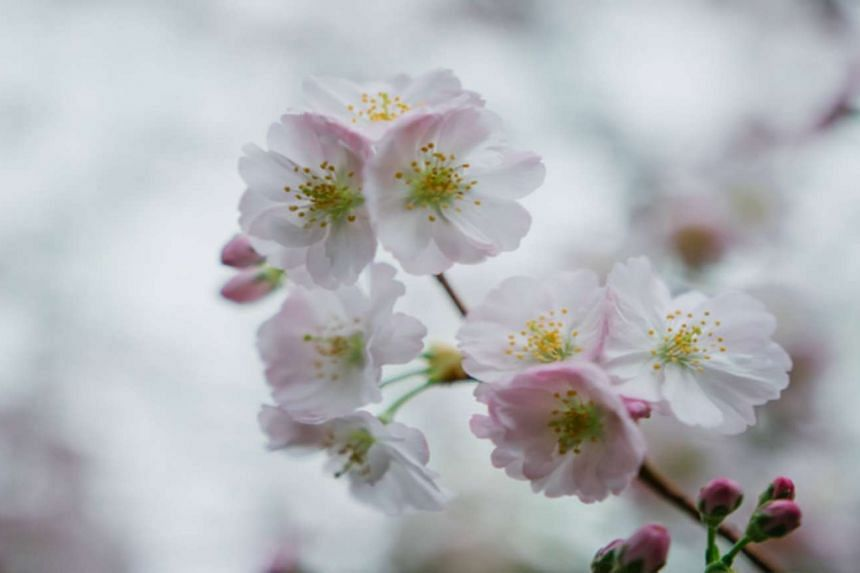 The flower of the Prunus Accolade cherry blossom tree.