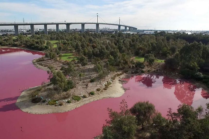 The lake at Westgate Park on the outskirts of Melbourne has turned a vivid pink due to extreme salt levels that have been further exacerbated by hot weather.