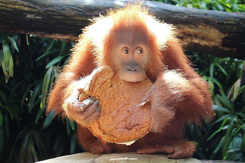 The Singapore Zoo's Ah Meng the orang utan celebrated her sixth birthday yesterday with a scrumptious - but healthy - carrot cake studded with blueberries and topped with a nut-based icing. The non-dairy and low-sugar treat adhered to strict specific