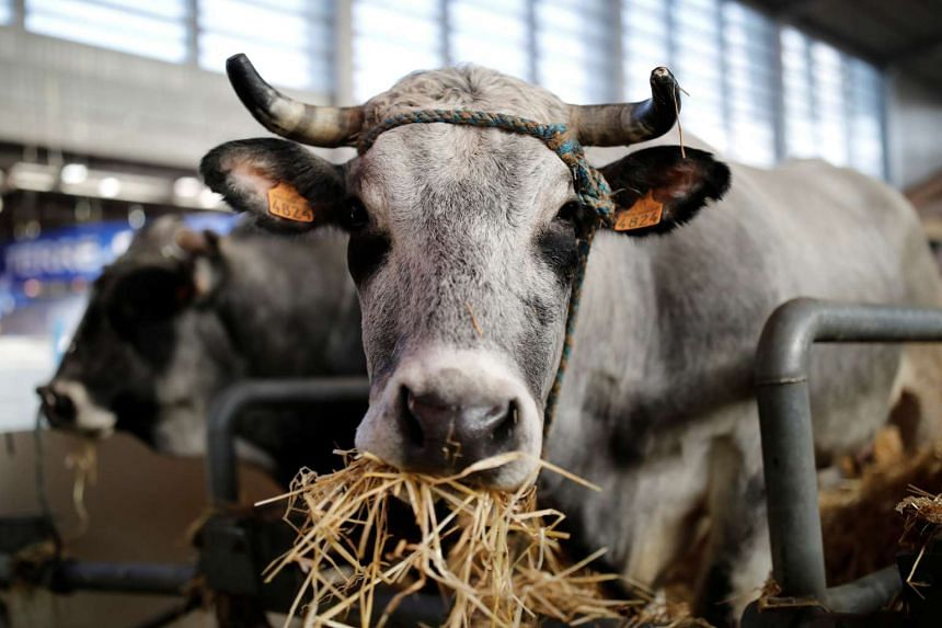 A cow is pictured on the eve of the opening of the International Agricultural Show in Paris, Feb 24, 2017.