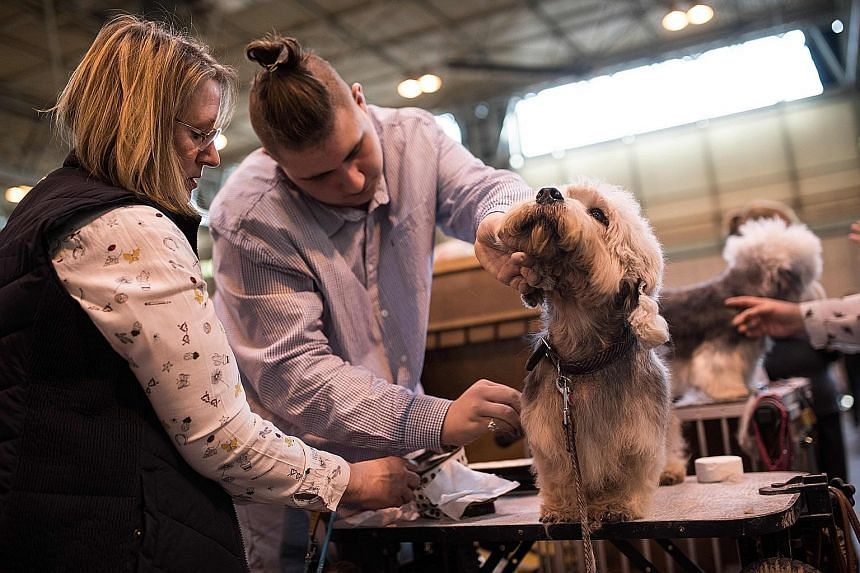 A dandie dinmont terrier getting primped at the Crufts show in Birmingham on Thursday. A centuries-old Scottish hunting breed that bears the name of a character from a Walter Scott novel, the small but feisty dandies are dwindling in number and have