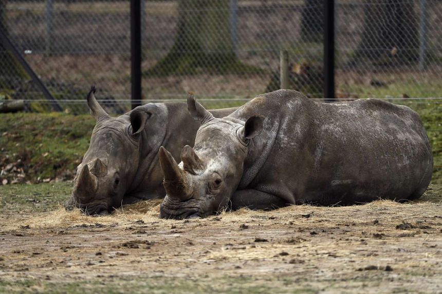 A photo showing Bruno (left) and Lucie, two rhinos at the zoo of Thoiry, on March 8, 2017.