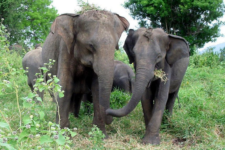 File photograph of Indian elephants.