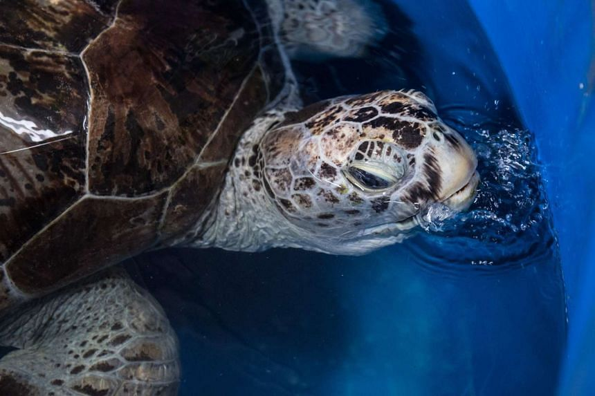 A sea turtle dubbed Piggy Bank comes up for air while swimming in a small sea water pool at the Veterinary Medical Aquatic Animal Research Center in Bangkok on March 13, 2017, days after it was operated on to remove coins lodged in its belly.