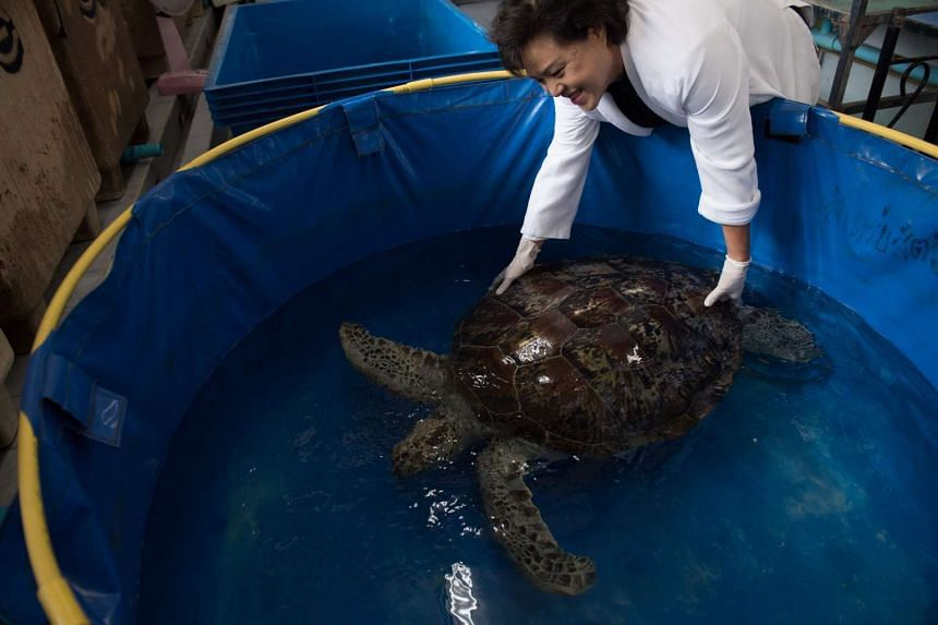Nantrika Chansue, a veterinarian in charge of Chulalongkorn hospital's aquatic research centre handles a sea turtle dubbed Piggy Bank, at the Veterinary Medical Aquatic Animal Research Center in Bangkok on March 13, 2017, days after she removed coins