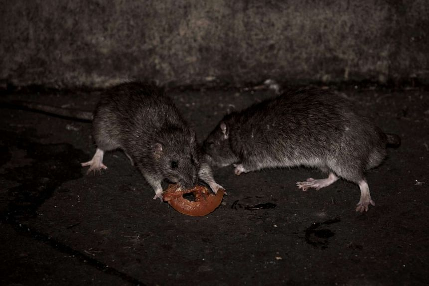 """File photo of rats. Investigations showed that Kay Lim Construction & Trading had housed workers in """"rat-infested"""" workers' quarters"""