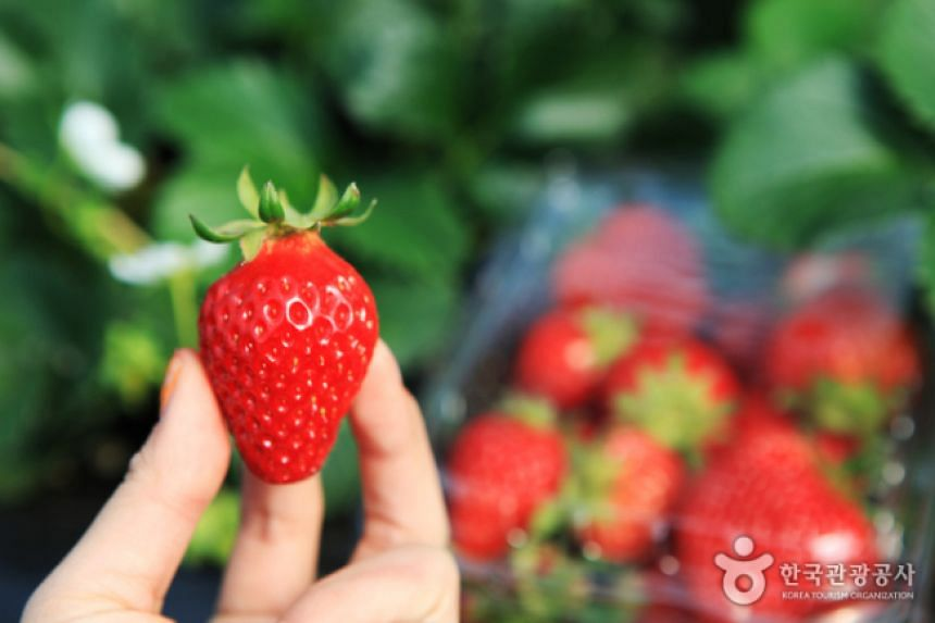 The Yangpyeong Strawberry Festival is being held through the end of May.