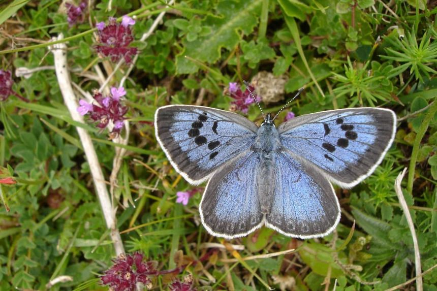 A British collector, Philip Cullen has been convicted on March 16, 2017 of killing two specimens of the highly endangered Large Blue (Maculinea Arion) species.