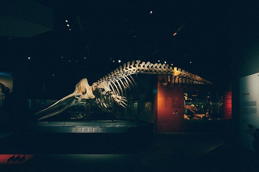 Museum staff worked round the clock to preserve the skeleton of the sperm whale. It is now a major attraction in the Lee Kong Chian Natural History Museum. The carcass of the sperm whale was found floating off Jurong Island two years ago. It is the f
