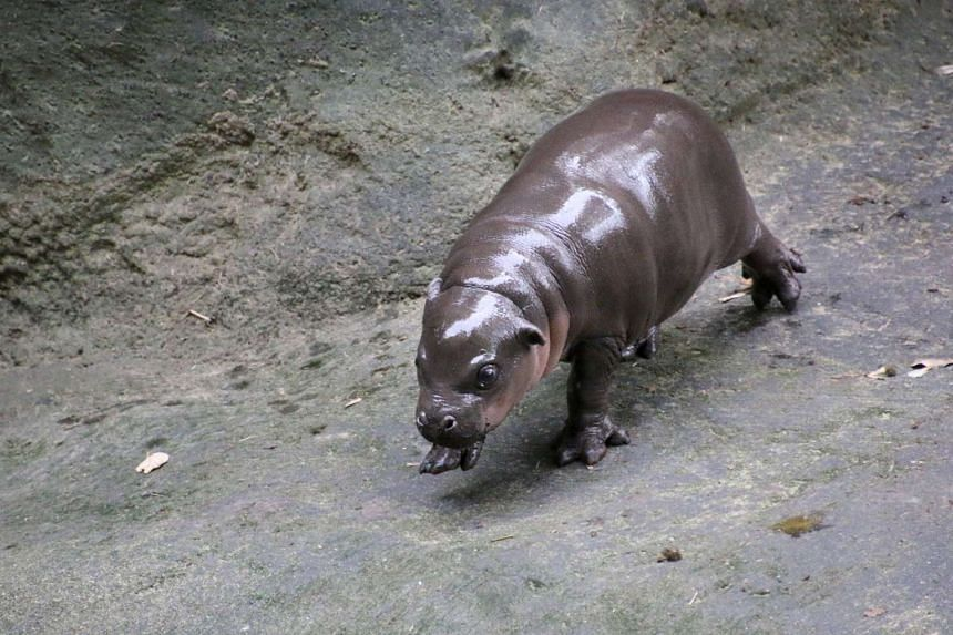 The baby pygmy hippopotamus made its first public appearance in Sydney on Friday (March 17).