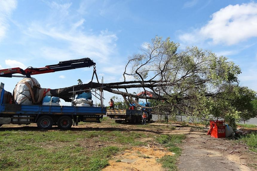 The tree being taken on a lorry crane to a holding area, part of which will be converted into the future Bidadari Park.