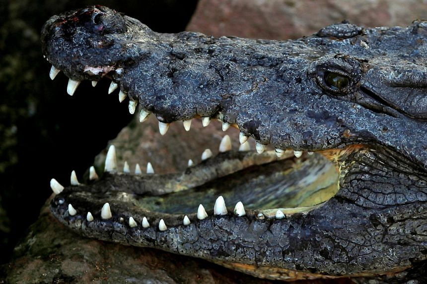 A Nile crocodile opens its mouth in its enclosure at Bioparc Fuengirola in Fuengirola, Spain.