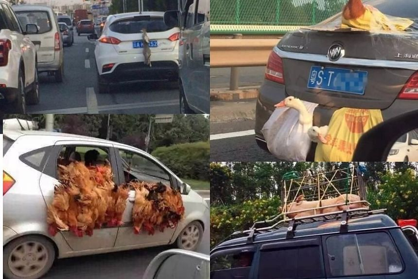 A picture of what appears to be a live rabbit strung on the back of a car in China has drawn criticism from netizens. Other live animals like hens, ducks and pigs have previously been photographed being transported in strange ways on cars in China.