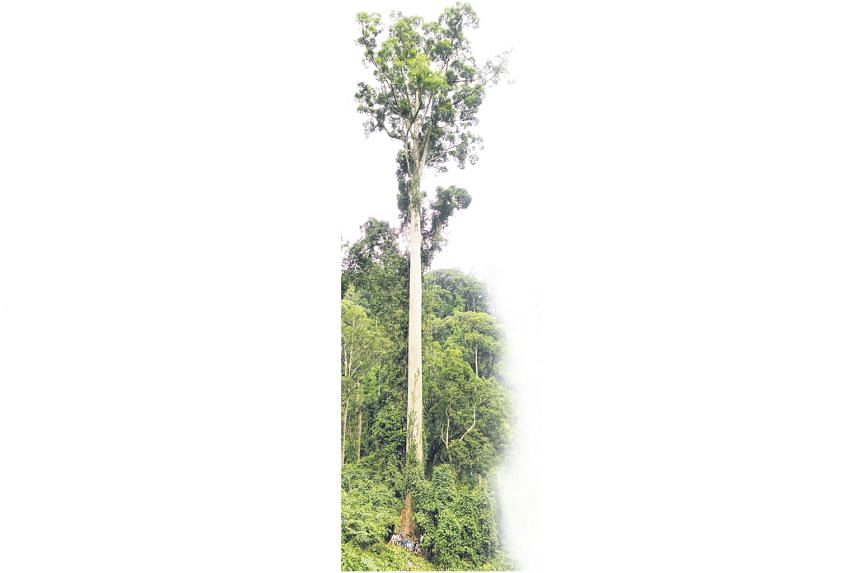Sabah Forestry Department team members are dwarfed by the 94.1m-tall tree.