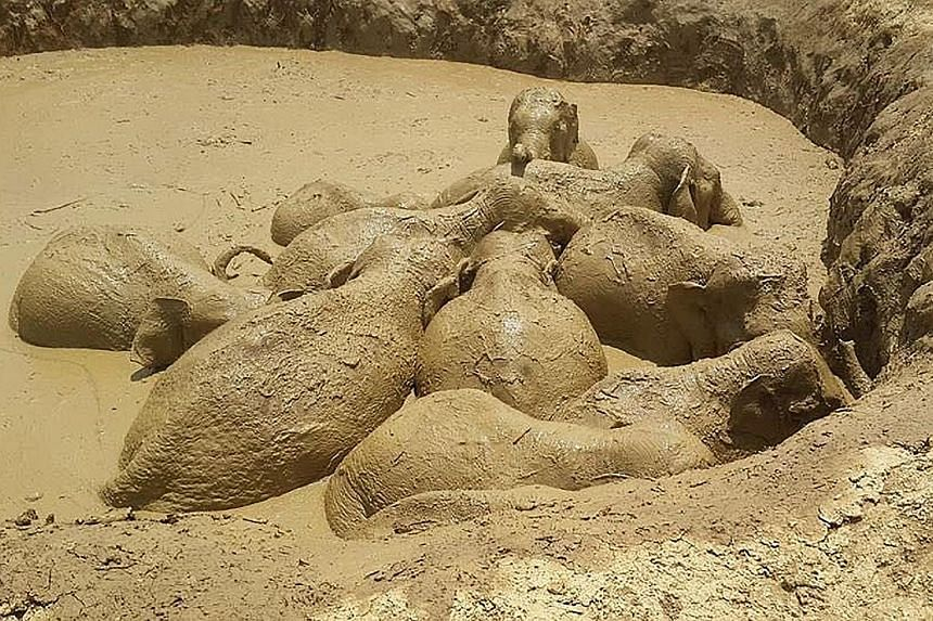 Trapped elephants wallowing in a mud-filled bomb crater in eastern Cambodia's Mondulkiri province, in this recent undated photo released on Saturday by the province's environmental office. Eleven wild elephants, including a baby, were rescued on Satu