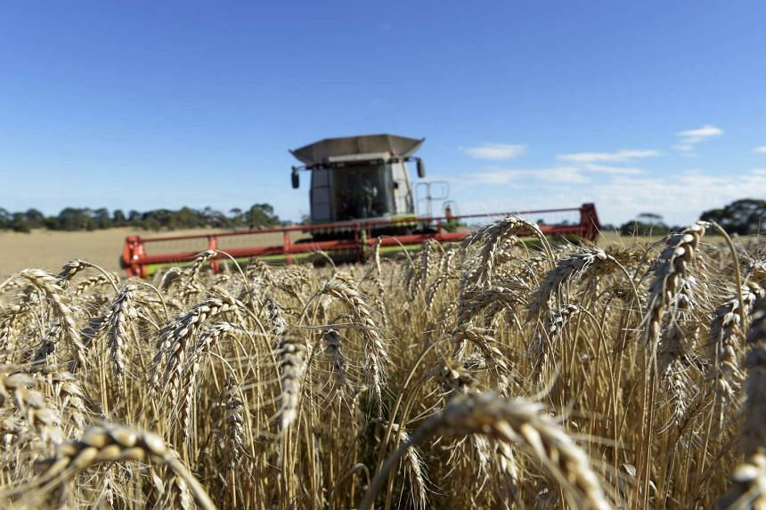 Wheat is harvested with a combine harvester at a farm near Drysdale, Australia.