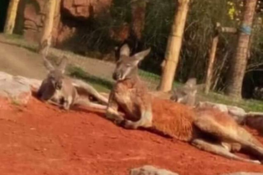 According to the People's Daily, the middle-aged man was filmed throwing palm-sized rocks at kangaroos in Zhuyuwan Zoo in Yangzhou, Jiangsu province, on March 26, 2017.