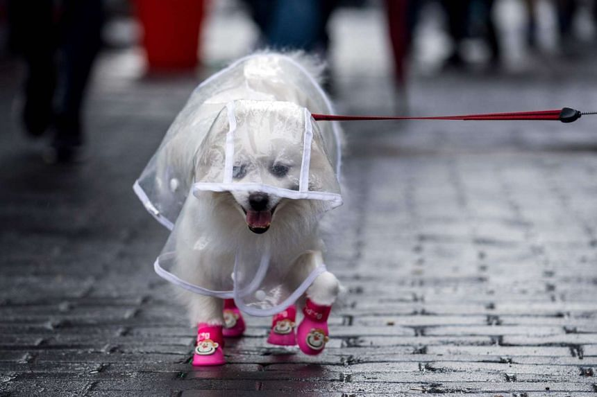 A dog dressed in clothing on a street in Shanghai on Feb 12, 2017.