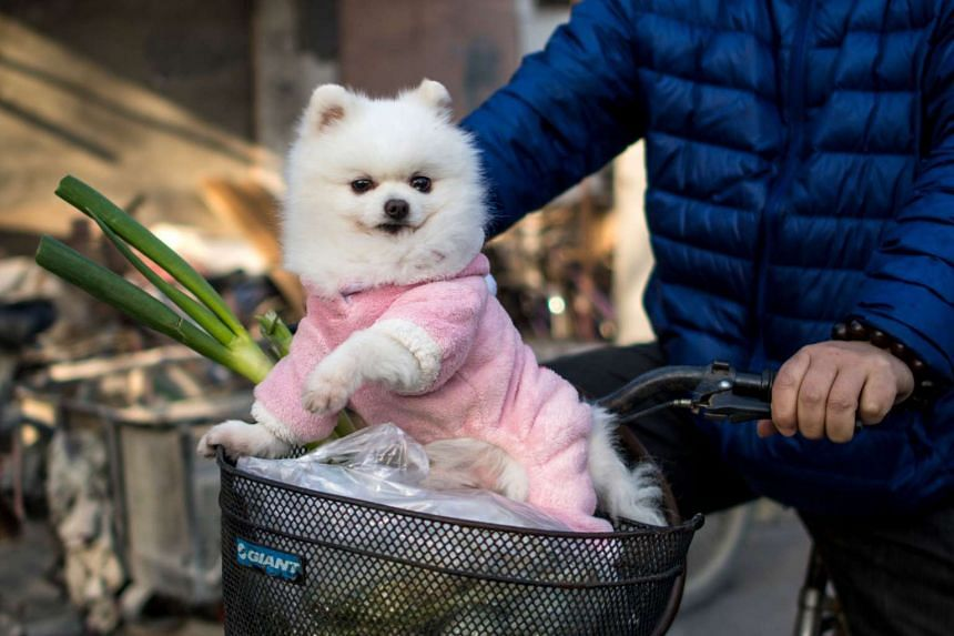 A dog dressed in clothing on a street in Shanghai on Feb 18, 2017.
