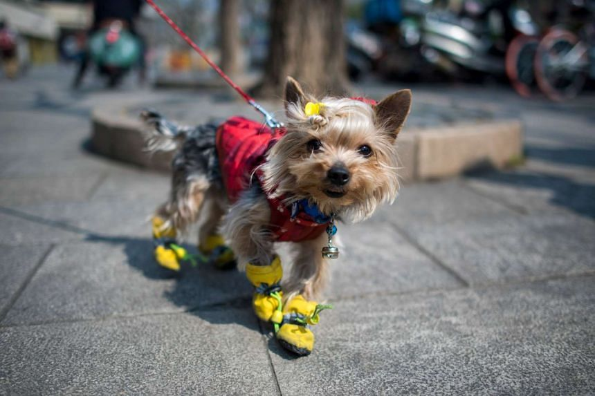 A dog dressed in clothing on a street in Shanghai on Feb 28, 2017.