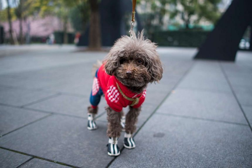 A dog dressed in clothing on a street in Shanghai on March 5, 2017.